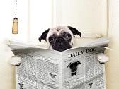31444406 chien carlin assis sur des toilettes et lisant le magazine d avoir une pause